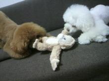 愛犬鈴ちゃん~トイプードル☆ライフスタイル~-2012062218200000.jpg