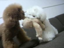 愛犬鈴ちゃん~トイプードル☆ライフスタイル~-2012062218170000.jpg
