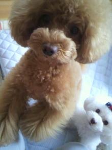 愛犬鈴ちゃん~トイプードル☆ライフスタイル~-2012052615510001.jpg