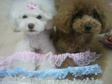 愛犬鈴ちゃん~トイプードル☆ライフスタイル~-2012062413080001.jpg