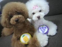 愛犬鈴ちゃん~トイプードル☆ライフスタイル~-2012062413150001.jpg