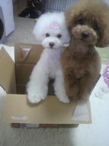 愛犬鈴ちゃん~トイプードル☆ライフスタイル~-2012062413540001.jpg