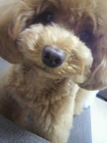 愛犬鈴ちゃん~トイプードル☆ライフスタイル~-2012062414140000.jpg