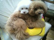 愛犬鈴ちゃん~トイプードル☆ライフスタイル~-2012062609230002.jpg