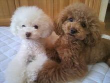 愛犬鈴ちゃん~トイプードル☆ライフスタイル~-2012062617560000.jpg