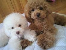 愛犬鈴ちゃん~トイプードル☆ライフスタイル~-2012062617580001.jpg