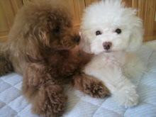 愛犬鈴ちゃん~トイプードル☆ライフスタイル~-2012062617550000.jpg