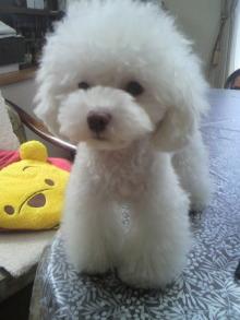 愛犬鈴ちゃん~トイプードル☆ライフスタイル~-2012062609120000.jpg