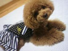 愛犬鈴ちゃん~トイプードル☆ライフスタイル~-2012062621290001.jpg
