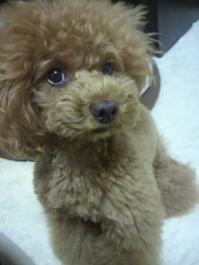 愛犬鈴ちゃん~トイプードル☆ライフスタイル~-2012062719590000.jpg