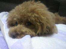 愛犬鈴ちゃん~トイプードル☆ライフスタイル~-2012071122070000.jpg