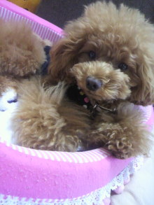 愛犬鈴ちゃん~トイプードル☆ライフスタイル~-2012062911280000.jpg