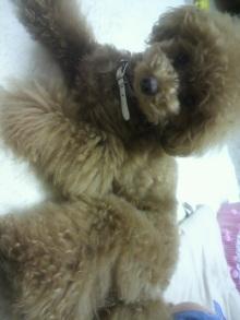 愛犬鈴ちゃん~トイプードル☆ライフスタイル~-2012062919360001.jpg