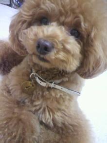 愛犬鈴ちゃん~トイプードル☆ライフスタイル~-2012063001130001.jpg