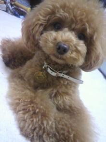 愛犬鈴ちゃん~トイプードル☆ライフスタイル~-2012063001130000.jpg