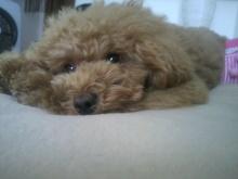愛犬鈴ちゃん~トイプードル☆ライフスタイル~-2012070214190000.jpg