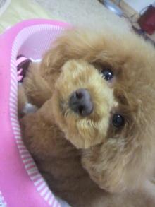 愛犬鈴ちゃん~トイプードル☆ライフスタイル~-2012070217130001.jpg