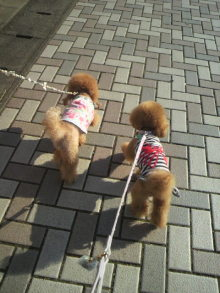 愛犬鈴ちゃん~トイプードル☆ライフスタイル~-2012070416310000.jpg