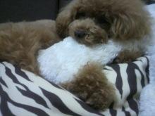 愛犬鈴ちゃん~トイプードル☆ライフスタイル~-2012070515080001.jpg