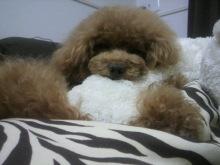 愛犬鈴ちゃん~トイプードル☆ライフスタイル~-2012070515090001.jpg