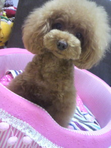 愛犬鈴ちゃん~トイプードル☆ライフスタイル~-2012071221160000.jpg