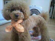 愛犬鈴ちゃん~トイプードル☆ライフスタイル~-2012070914420002.jpg