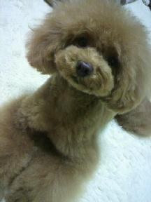 愛犬鈴ちゃん~トイプードル☆ライフスタイル~-2012062019310001.jpg