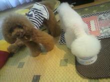 愛犬鈴ちゃん~トイプードル☆ライフスタイル~-2012071518120001.jpg