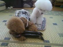 愛犬鈴ちゃん~トイプードル☆ライフスタイル~-2012071517530000.jpg