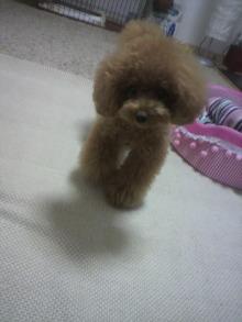 愛犬鈴ちゃん~トイプードル☆ライフスタイル~-2012071611360000.jpg