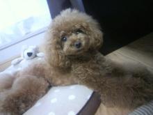 愛犬鈴ちゃん~トイプードル☆ライフスタイル~-2012071611320000.jpg