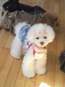 愛犬鈴ちゃん~トイプードル☆ライフスタイル~-2012072609300001.jpg