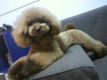 愛犬鈴ちゃん~トイプードル☆ライフスタイル~-2012072618530002.jpg