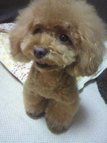 愛犬鈴ちゃん~トイプードル☆ライフスタイル~-2012072618560000.jpg