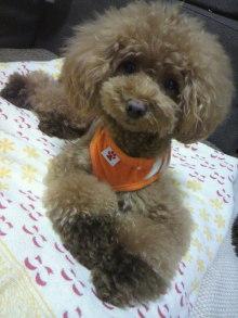 愛犬鈴ちゃん~トイプードル☆ライフスタイル~-2012073121560000.jpg