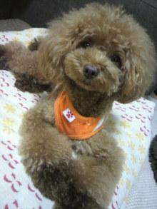 愛犬鈴ちゃん~トイプードル☆ライフスタイル~-2012073121560001.jpg