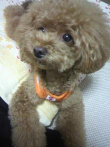 愛犬鈴ちゃん~トイプードル☆ライフスタイル~-2012073121580000.jpg