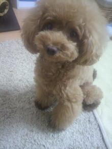 愛犬鈴ちゃん~トイプードル☆ライフスタイル~-2012080309360000.jpg