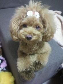愛犬鈴ちゃん~トイプードル☆ライフスタイル~-2012080319500000.jpg
