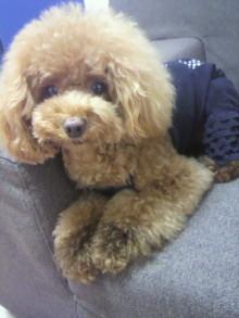 愛犬鈴ちゃん~トイプードル☆ライフスタイル~-2012080710230001.jpg