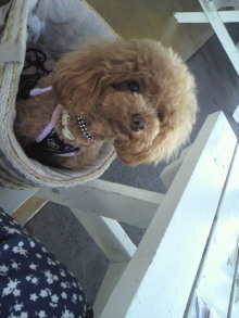 愛犬鈴ちゃん~トイプードル☆ライフスタイル~-2012080511540000.jpg