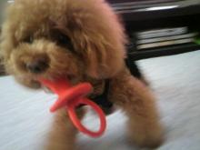愛犬鈴ちゃん~トイプードル☆ライフスタイル~-2012080711580000.jpg