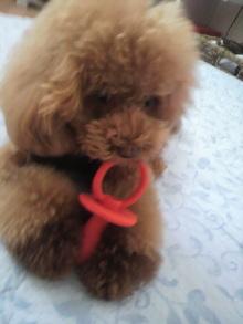 愛犬鈴ちゃん~トイプードル☆ライフスタイル~-2012080711560002.jpg