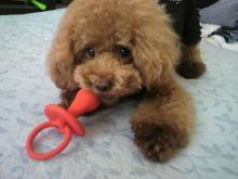 愛犬鈴ちゃん~トイプードル☆ライフスタイル~-2012080711560001.jpg