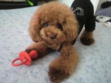 愛犬鈴ちゃん~トイプードル☆ライフスタイル~-2012080711560000.jpg