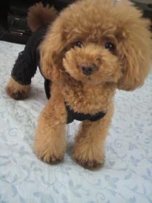 愛犬鈴ちゃん~トイプードル☆ライフスタイル~-2012080716370000.jpg