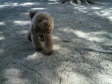愛犬鈴ちゃん~トイプードル☆ライフスタイル~-2012080514080000.jpg