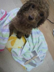 愛犬鈴ちゃん~トイプードル☆ライフスタイル~-2012080515450000.jpg