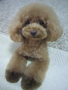 愛犬鈴ちゃん~トイプードル☆ライフスタイル~-2012080516020001.jpg