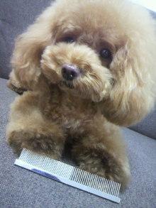 愛犬鈴ちゃん~トイプードル☆ライフスタイル~-2012080517270001.jpg